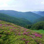 Tură fulger după rhododendroni, spre Vf. Bucșa