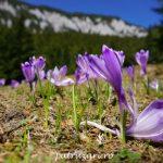 Florile de primăvară sălbatice, când și unde le găsim