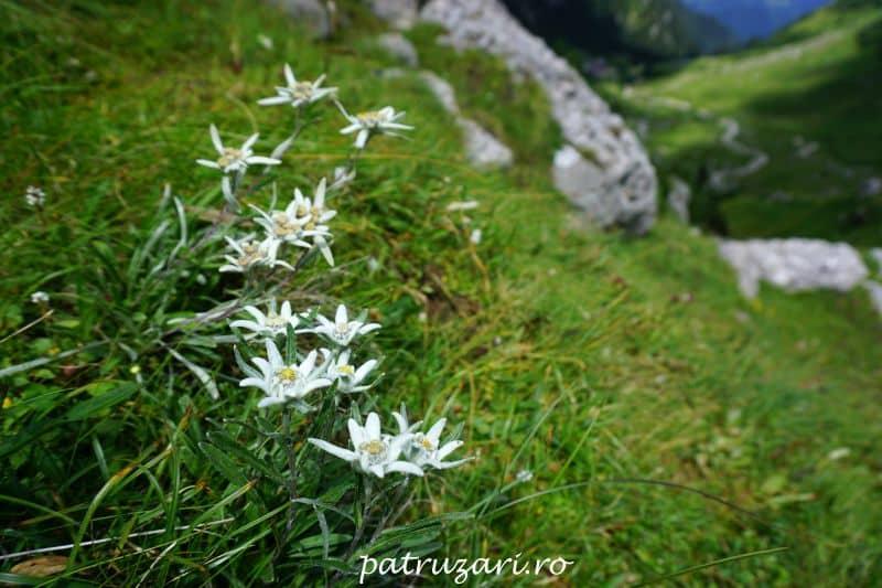 cabana malaiesti flori de colt